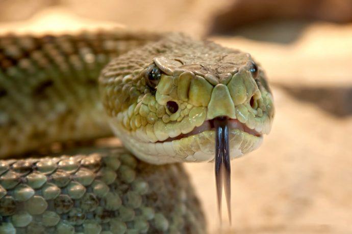 10 Cosas que deberíamos hacer si nos muerde una serpiente venenosa y los errores que se deberían evitar