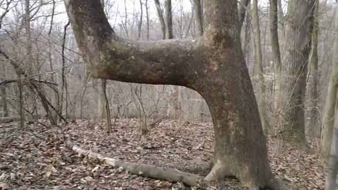 Un grupo de expertos pone fin al misterio de los árboles doblados en U que llevaban años encontrando en los bosques