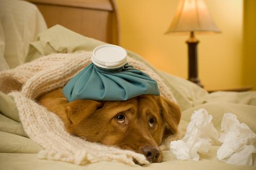se resfrian los perros como los humanos es contagioso perro resfriado