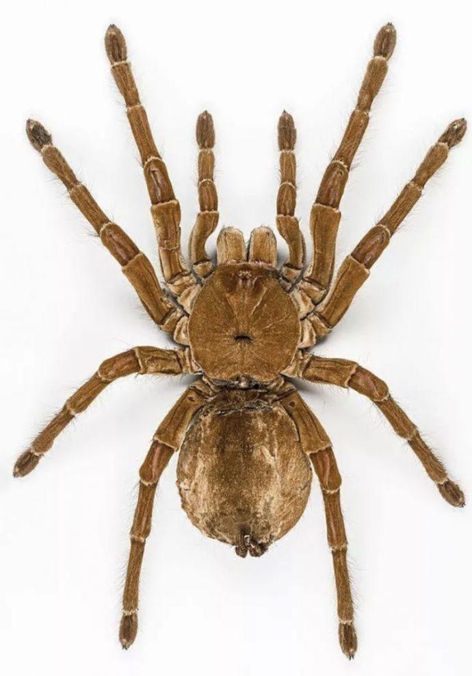 12 Datos curiosos que seguramente no sabías sobre las enormes arañas que pueden llegar a comer un pájaro entero