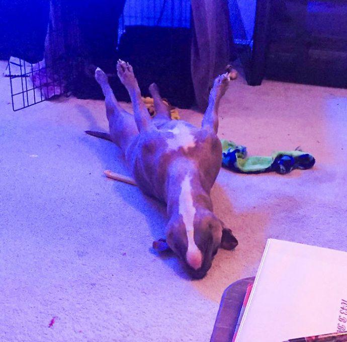 11 Divertidas imágenes de Leela, el pitbull que demuestra que no son los perros más peligrosos del mundo