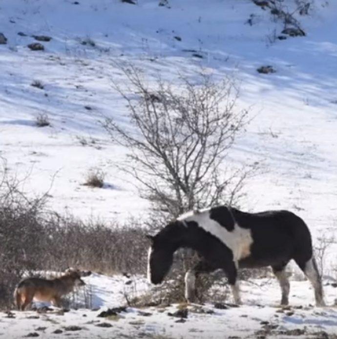 Un caballo demuestra quién es el rey del lugar ante el encontronazo que tuvo con 5 lobos salvajes