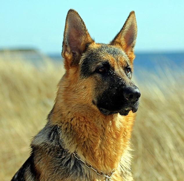 15 Imágenes que demuestran que los pastores alemanes son los animales más majestuosos del mundo
