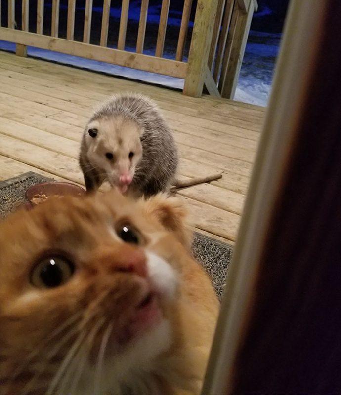 Un gato se desespera con su dueño al darse cuenta de que una zarigüeya salvaje le estaba robando su comida