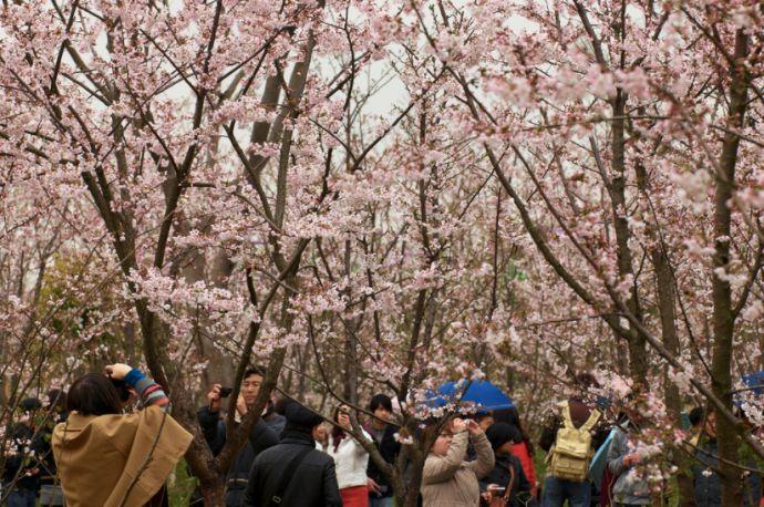 15 Imágenes de los árboles que florecen 1 vez al año y todo el mundo quiere ir a ver a China