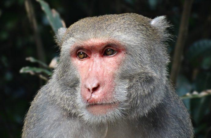 taiwan macaques 1345438 960 720