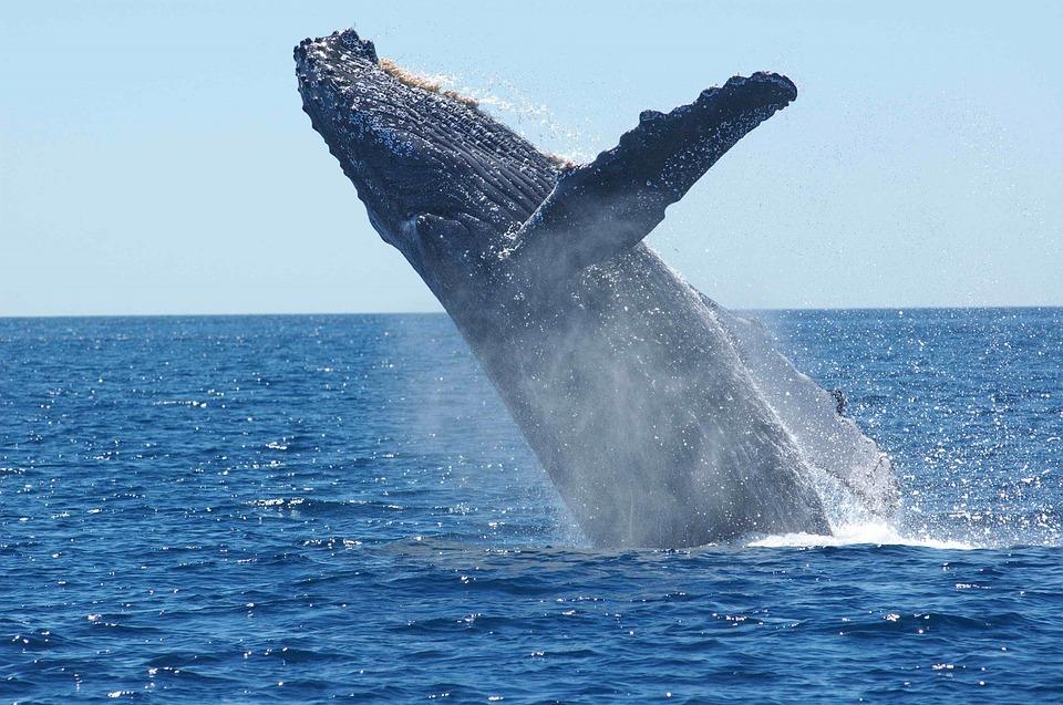 humpback whale 1945416 960 720