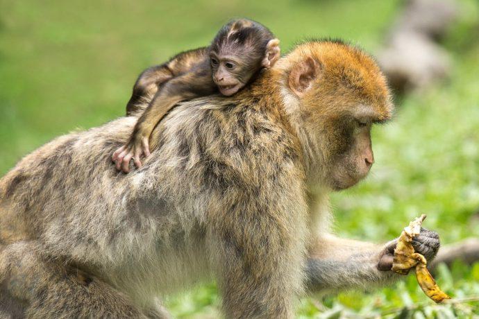 """Marina Champan, la niña """"Tarzán"""" que fue criada por monos en la selva"""