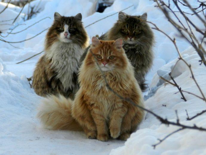 20 Imágenes de los gigantescos gatos que han invadido la granja de una mujer rusa