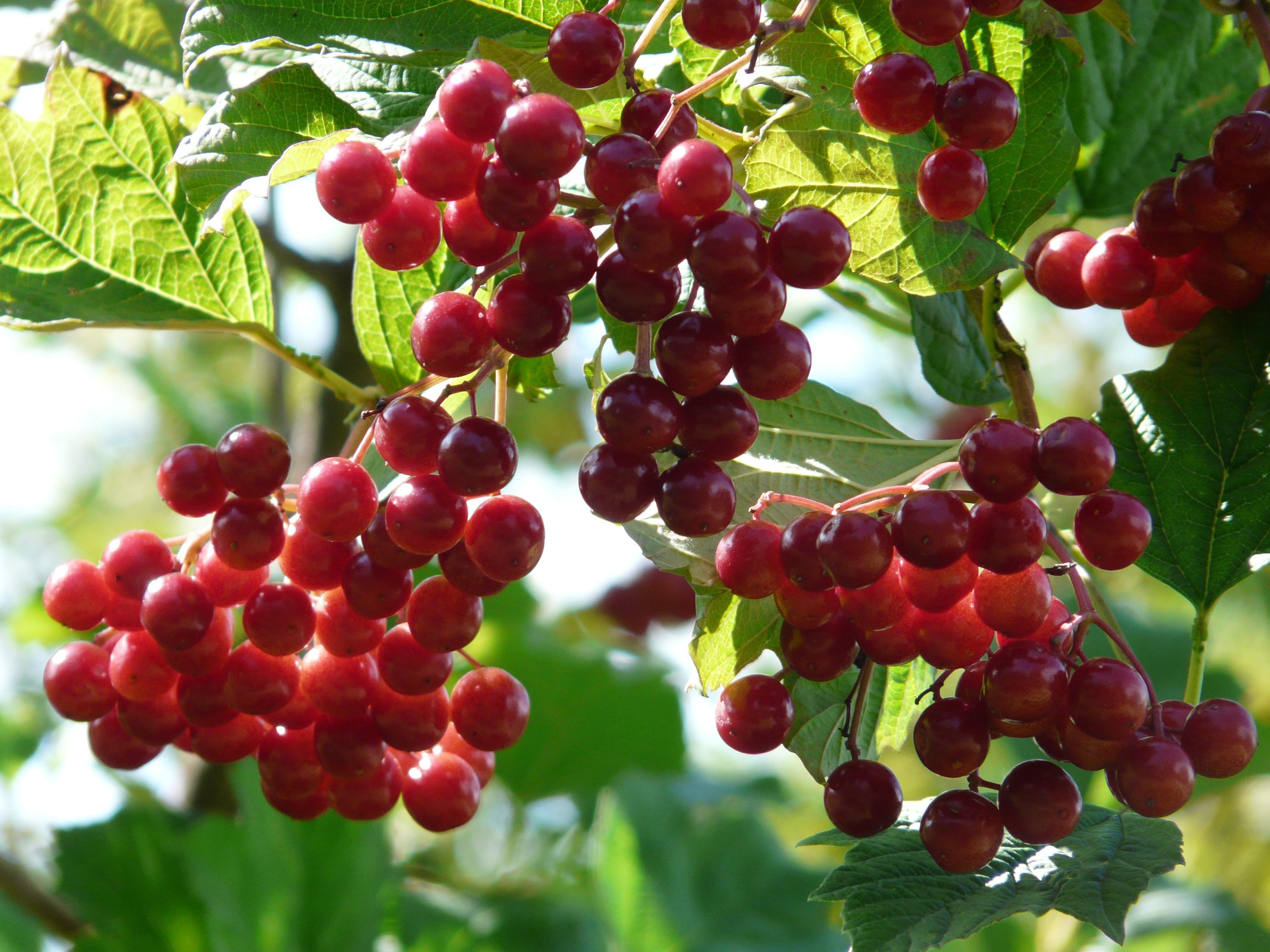 plant fruit berry flower ripe food 1144960 pxhere.com
