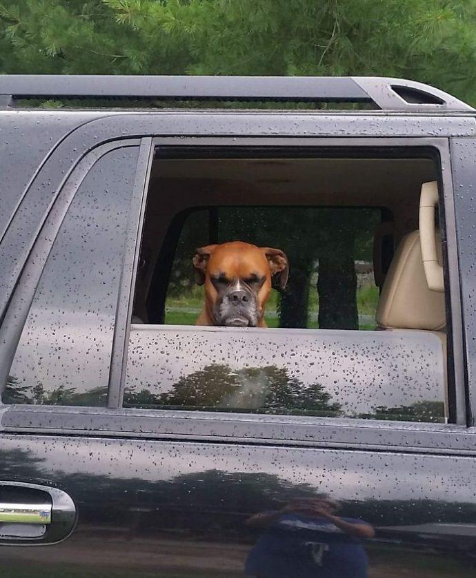 20 Divertidas Imágenes que coronan a los bóxers como los perros más inesperados de todos los tiempos
