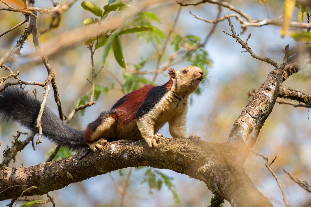10 Imágenes de la ardilla gigante de India que un experto confundió con un primate por su enorme tamaño