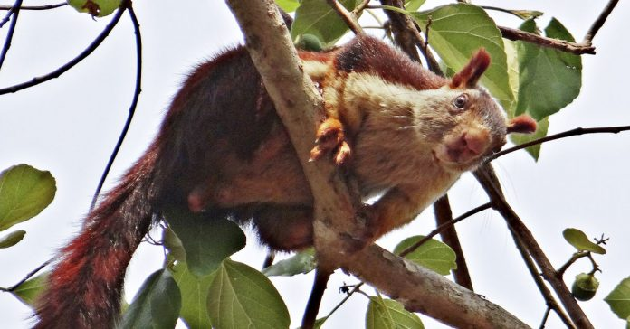 un experto descubre la ardilla gigante india y es preciosa banner