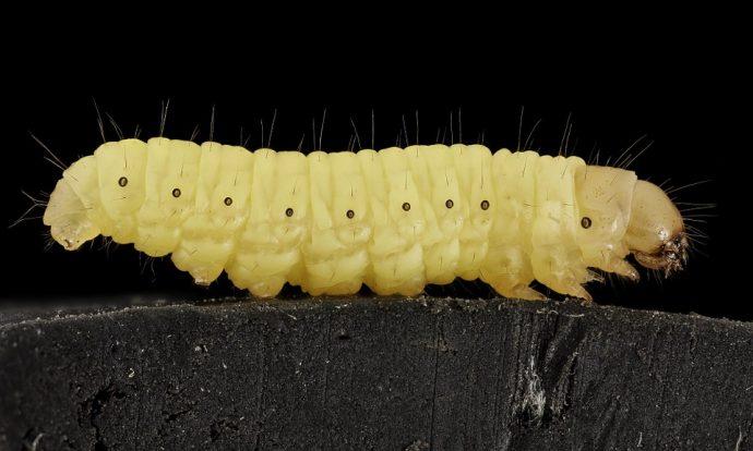 wax worm 911591 960 720