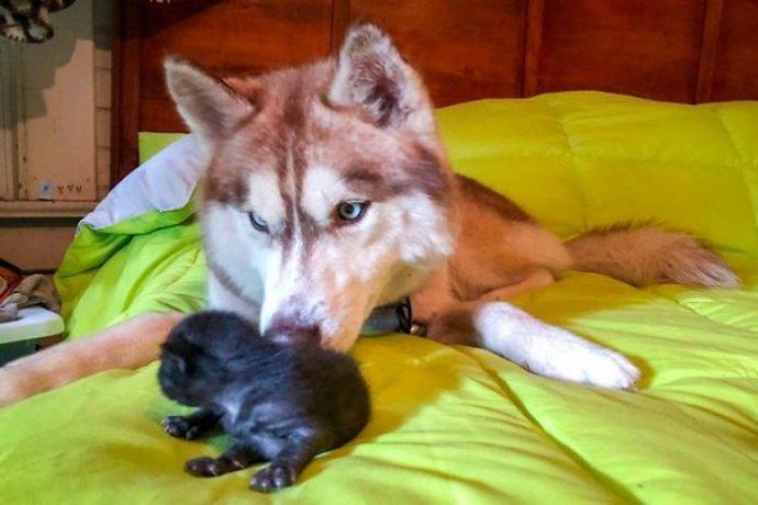 Una mujer se viraliza con la surrealista historia de su Husky con un gatito en la boca