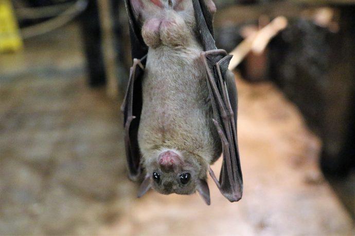 fruit bat 1582189 1280