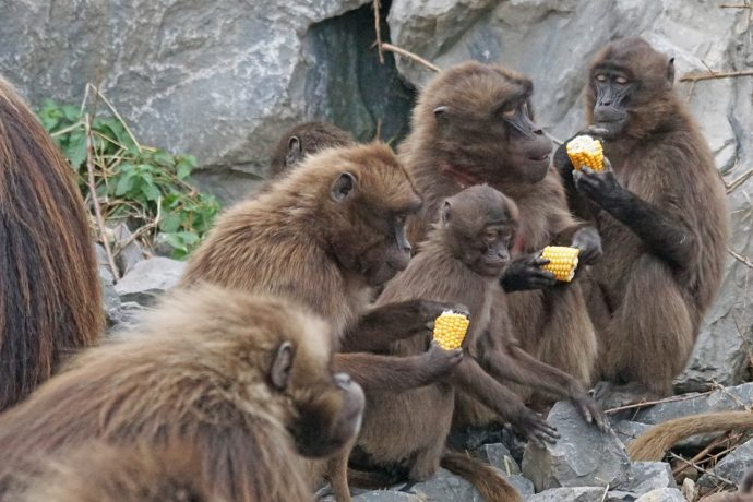 wildlife zoo food mammal fauna primate 1057756 pxhere.com