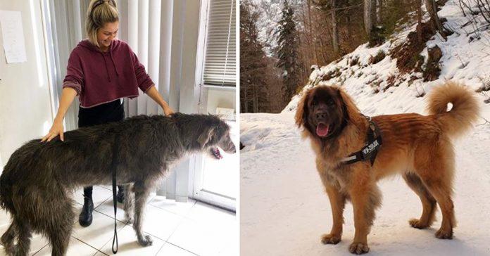 razas perros grandes gigantes enormes