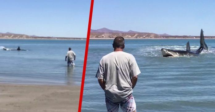 este hombre se acerco a un tiburon blanco enorme para grabarlo banner